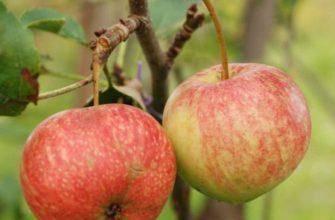 Особенности яблони сорта ковровое