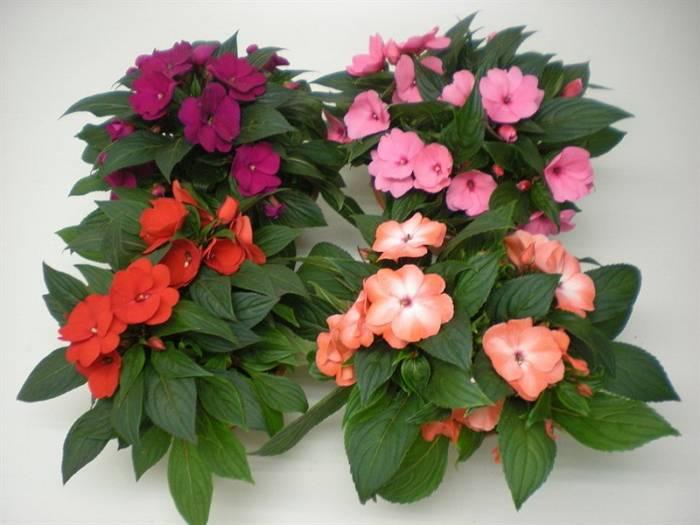 Бальзамин, или ванька мокрый – мой любимый комнатный цветок