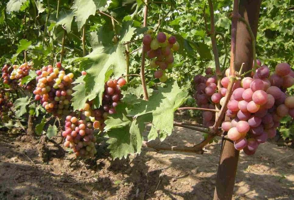 Садовый красавец с отличным вкусом — сорт винограда «низина»