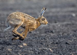 В чем разница между кроликом и зайцем?