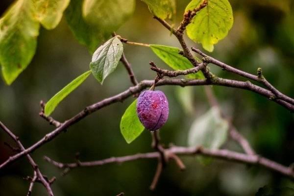 Причины осыпания плодов сливы до созревания и способы борьбы с проблемой