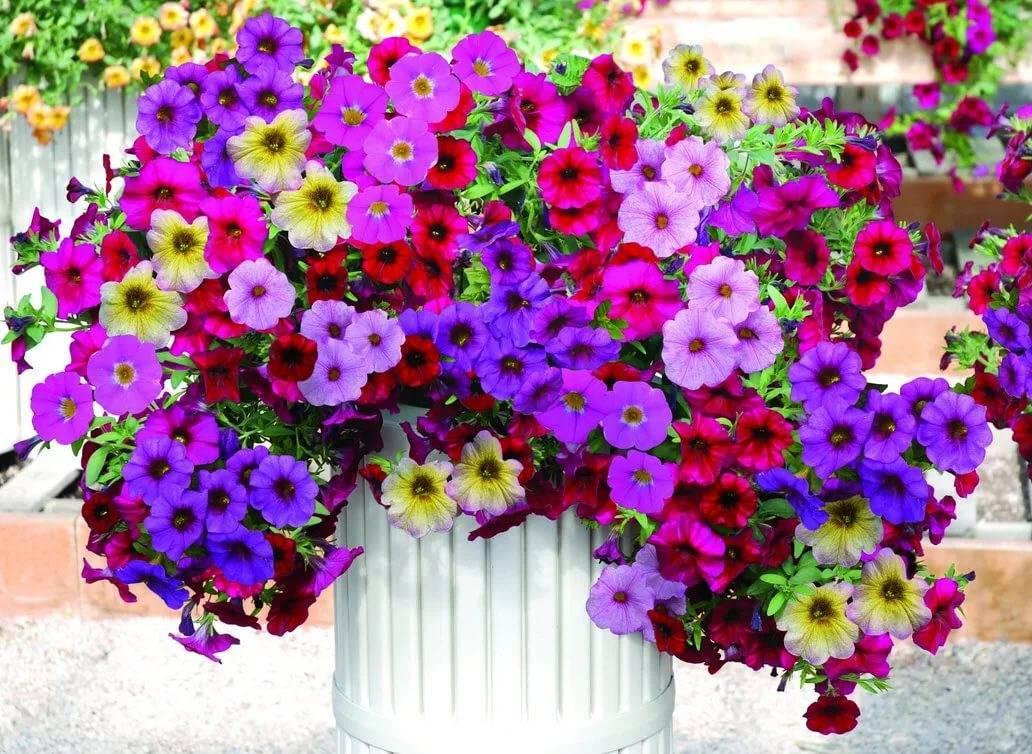 Выращивание и уход за петунией в домашних условиях и в открытом грунте