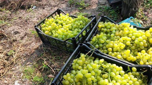 Подробное описание сорта винограда супер экстра – соответствует ли сорт своему названию?