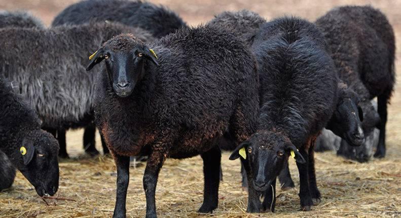 Описание и характеристика овец карачаевской породы, правила содержания