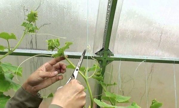 Как правильно делать прищипывание огурцов в открытом грунте и теплице