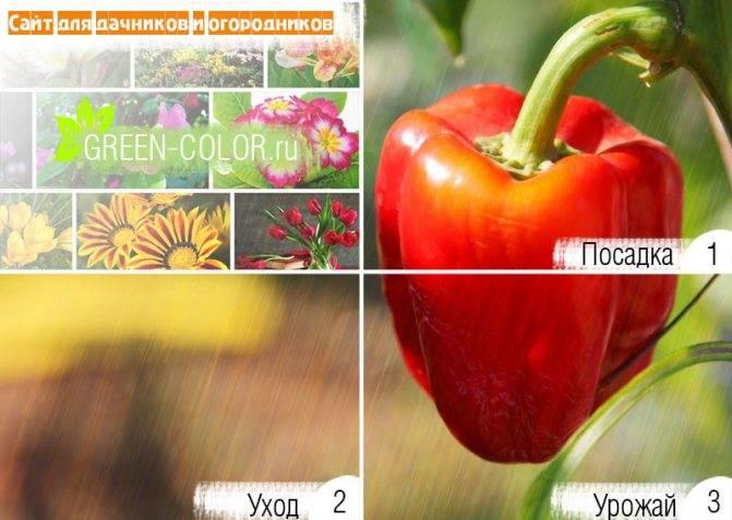 Характеристика и отзывы о перце сорта «подарок молдовы»