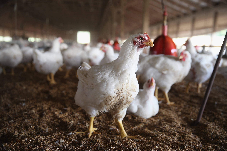 Температурный режим для бройлеров: цыплёнок и содержание