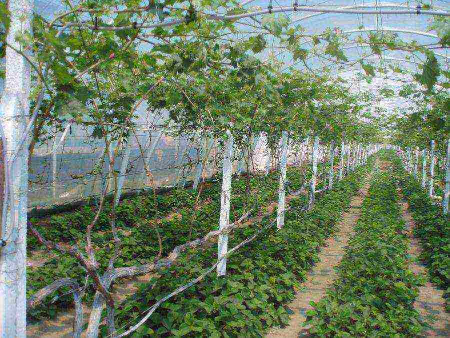 Виноград в теплице: выбор сорта и правила культивирования