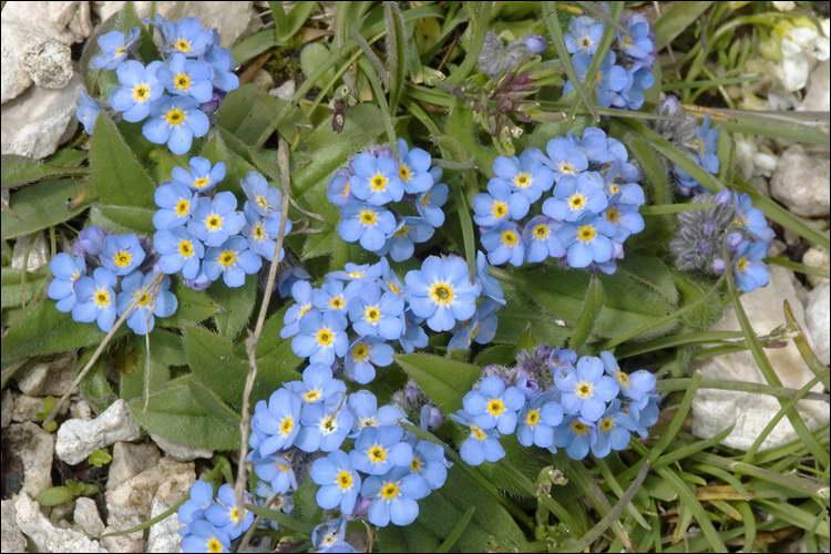 Описание и выращивание незабудки сорта альпийская, посадка и уход