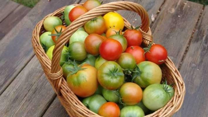 Почему чернеют и сохнут листья у помидоров: что делать
