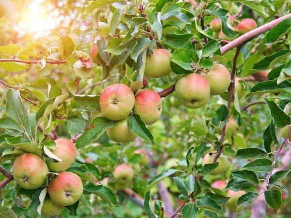 Высокоурожайная яблоня эрли женева: описание сорта