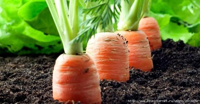 Обработка моркови от сорняков керосином: фото + видео