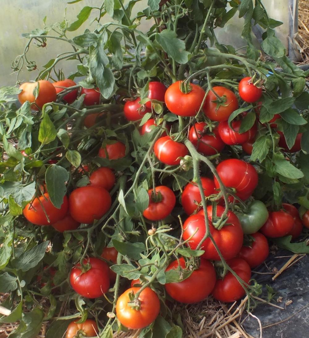 Описание сорта томата «анастасия»: основные характеристики, фото помидоров, урожайность, особенности и важные достоинства
