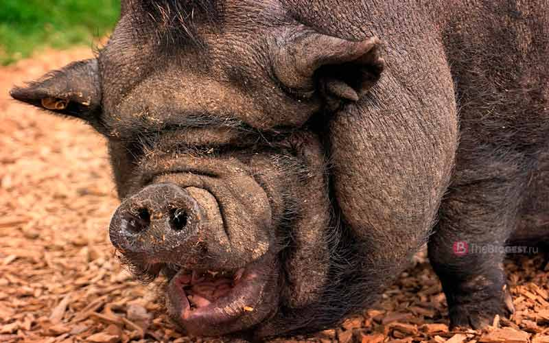 Самая большая свинья в мире — рекорды среди животных