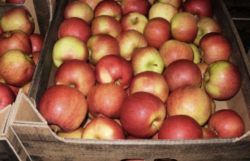 Как хранить урожай свежих яблок в квартире на зиму?