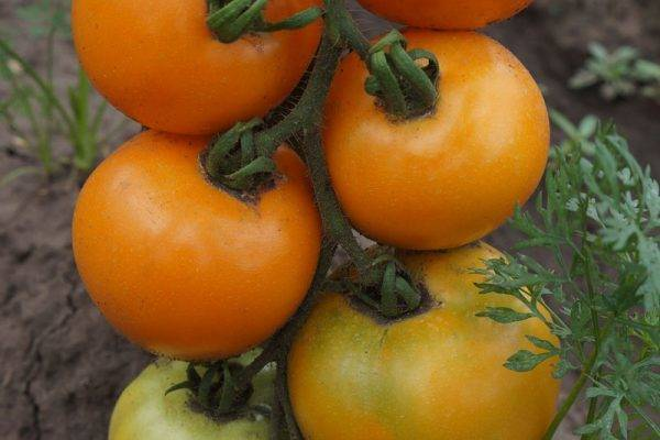 Яркий и экзотичный гость на грядке: томат «апельсин»