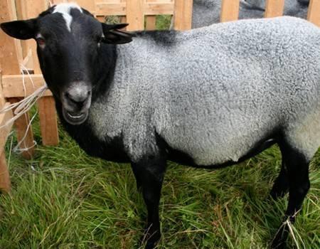 Широкое разнообразие овец: какие бывают и как выбрать
