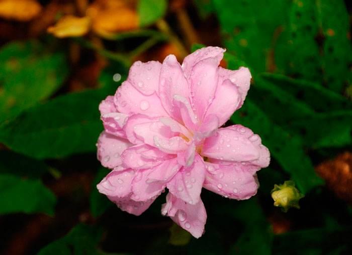 Выращивание календулы из семян и сроки посадки