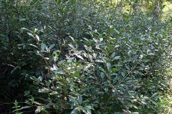 Сортовые характеристики кустовой вишни