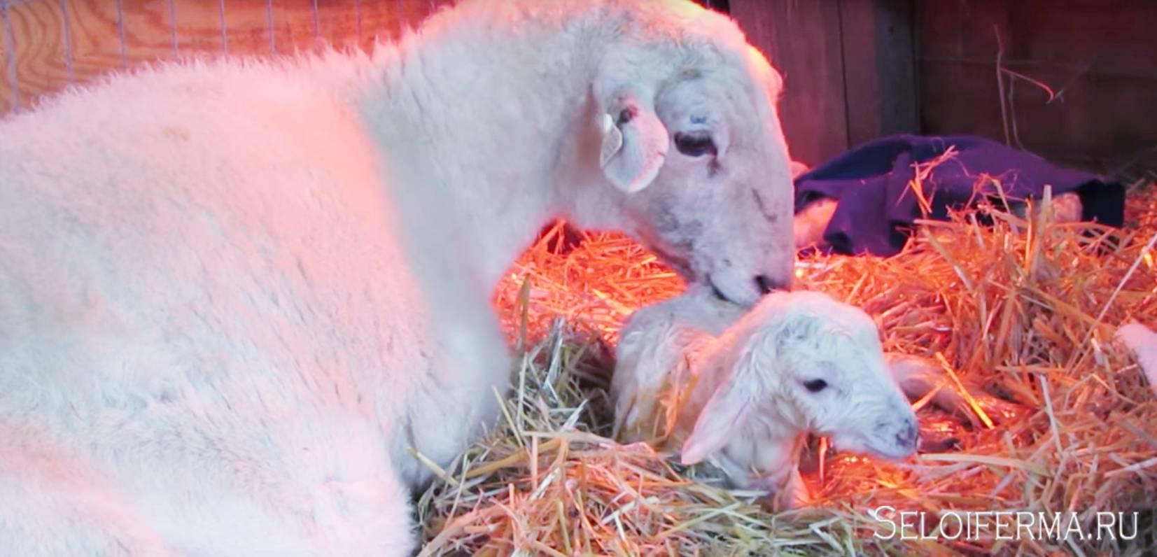 Окот или роды у козы