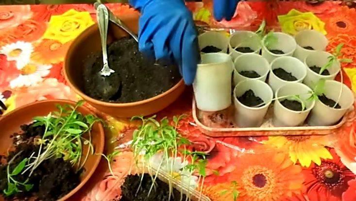 «расти большая, не маленькая», стимуляторы роста для рассады перца