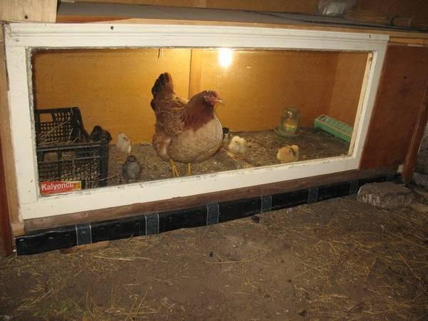 Брудеры для цыплят: обзор готовых + изготовление своими руками