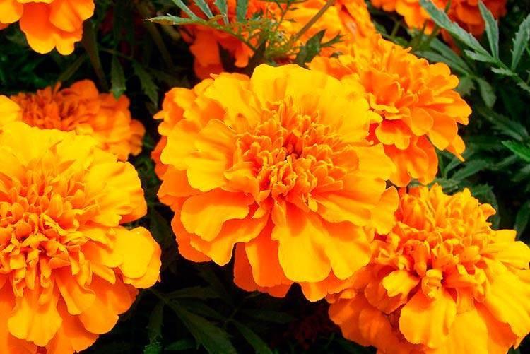 Бархатцы в огороде – украшение или защита от вредителей