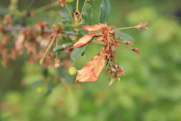 Монилиоз вишни: как лечить болезнь препаратами и народными средствами