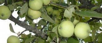 Всё про зимние сорта яблок