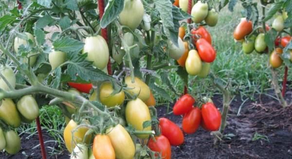 Томат «челнок»: отзывы, фото, урожайность, характеристика