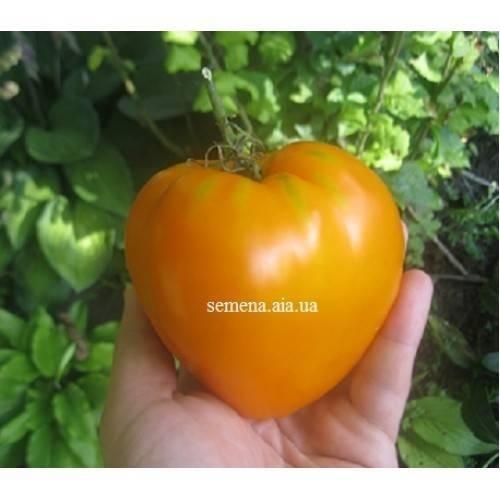 Сердце ашхабада: старый сорт помидоров с оранжевыми крупными плодами