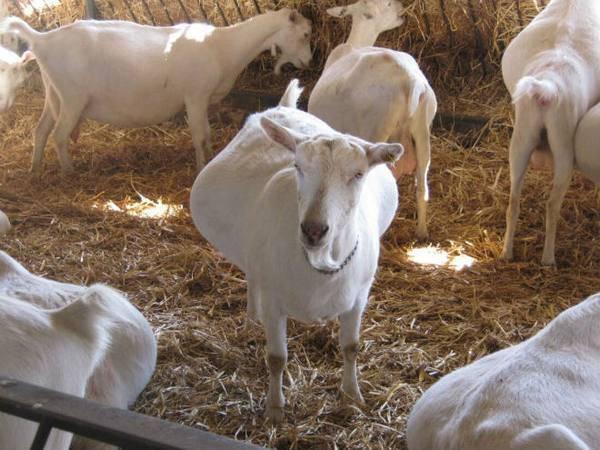 Продолжительность беременности коровы: основная норма, возможные отклонения, первые признаки отела
