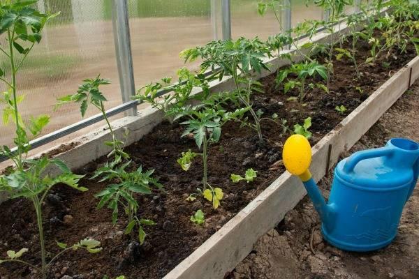 Как поливать помидоры в теплице: когда и чем