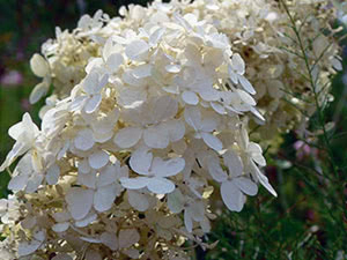 Лилия: посадка в открытый грунт и уход, выращивание в саду