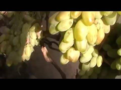 Особенности винограда диксон