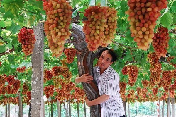 Виноград маникюр фингер описание сорта характеристика особенности выращивания