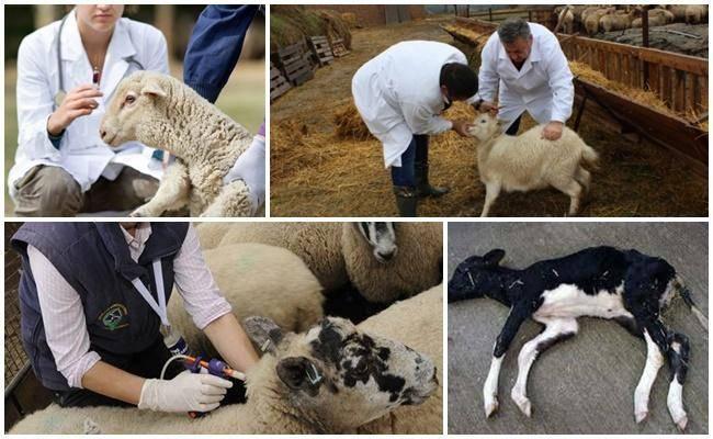 Чем лечить понос у козлят в домашних условиях, лекарства и народные средства