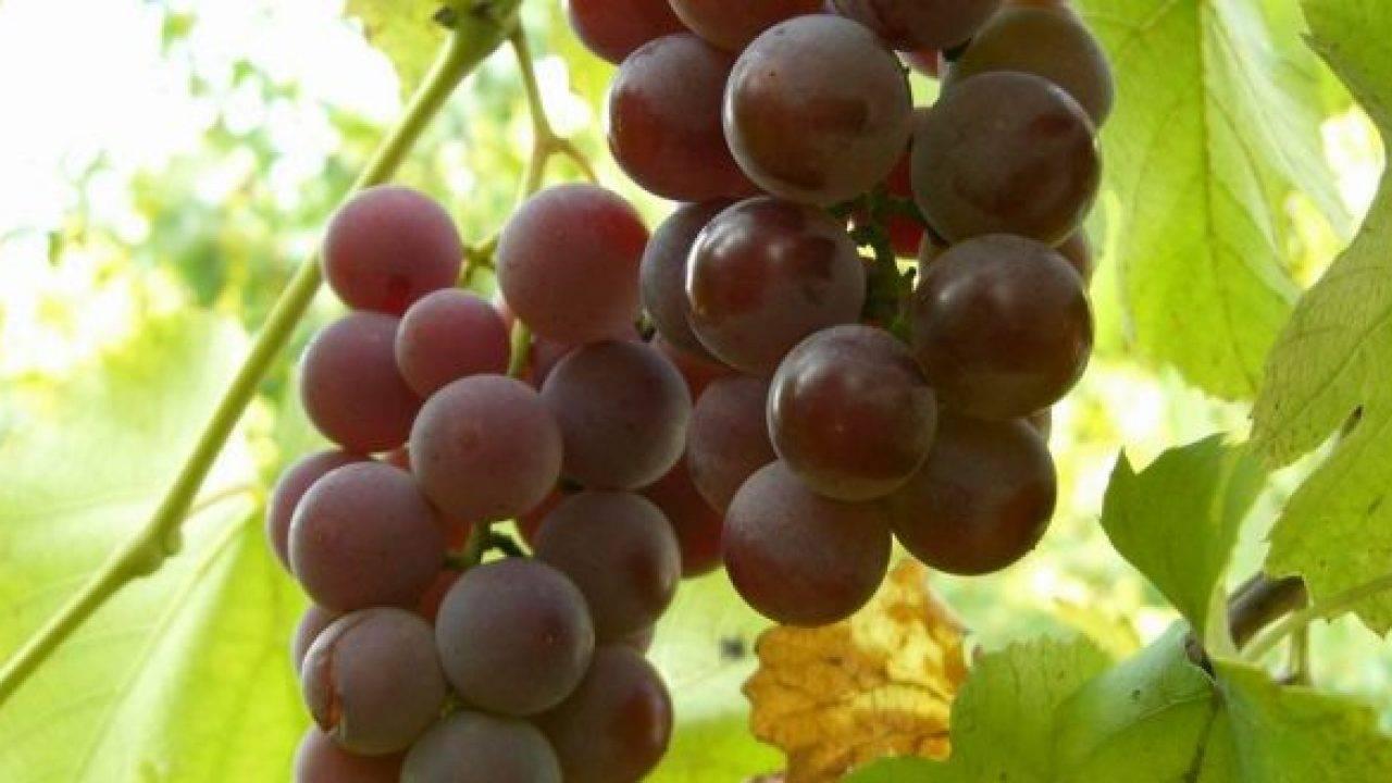 Сорт винограда «гурман ранний» — использование и хранение урожая