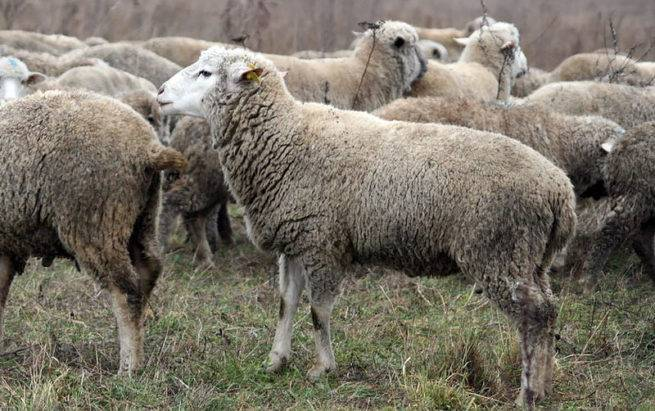 Характеристика цигайской породы овец