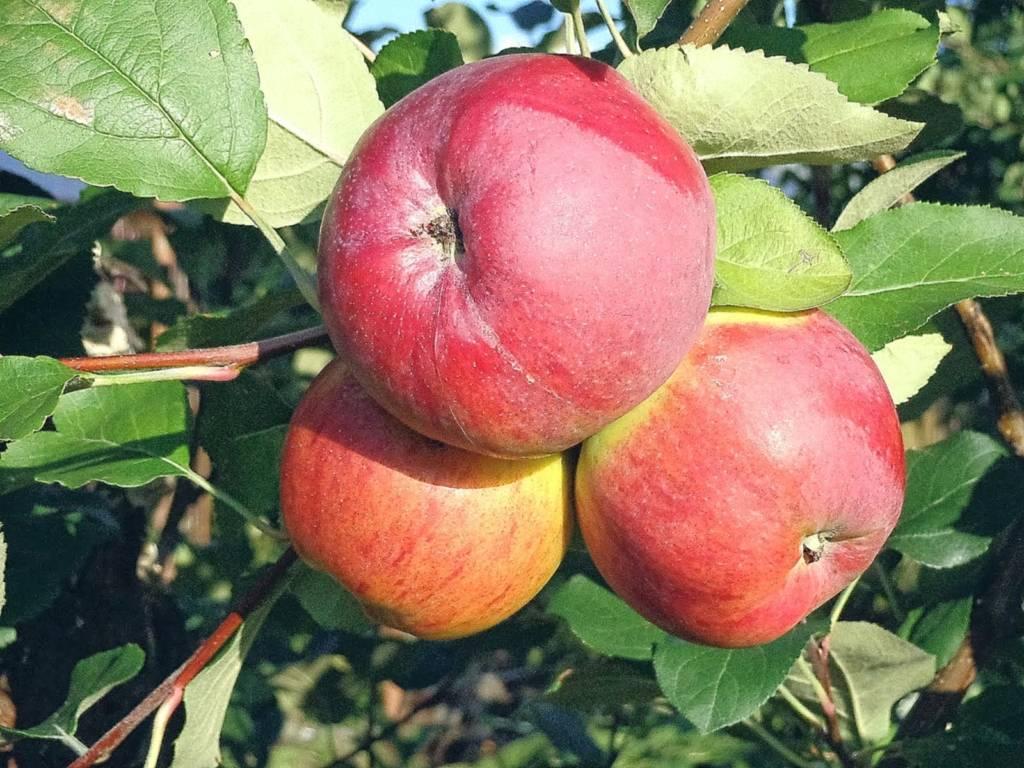 Яблоня беркутовское — описание сорта