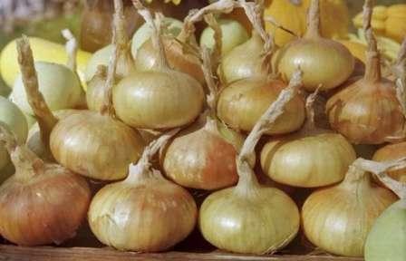 Лук штутгартер ризен: характеристики, выращивание и секреты получения хорошего урожая