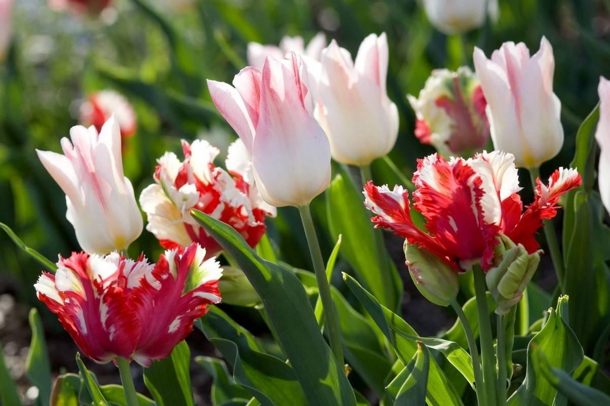 Как и когда нужно пересаживать тюльпаны осенью с одного места на другое