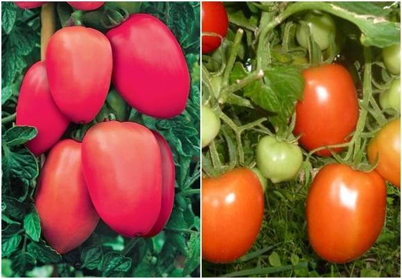 Ранний и неприхотливый сорт помидоров столыпин