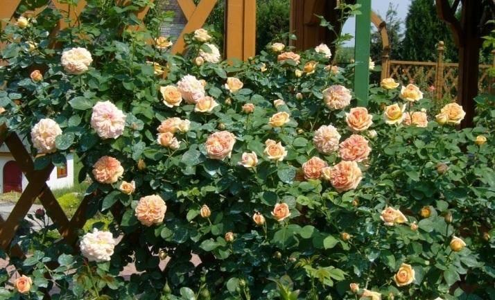 Нежность и грация в саду: тонкости посадки и ухода за плетистой розой полька