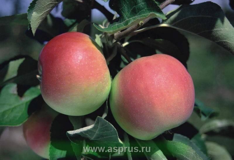 Яблоня экранная: описание сорта и фото