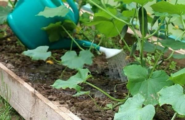 Чем подкормить огурцы в теплице для хорошего роста