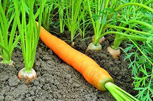 Какие овощи можно поливать соленой водой
