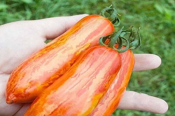 Томат марфа f1: характеристика и описание сорта, урожайность с фото
