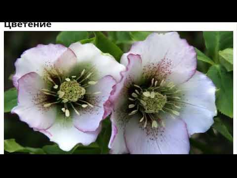 Цветок морозник посадка и уход выращивание на рассаду из семян сорта и виды фото