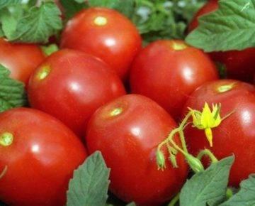 Томат зефир в шоколаде: характеристика и описание сорта, отзывы об урожайности помидоров, фото растения